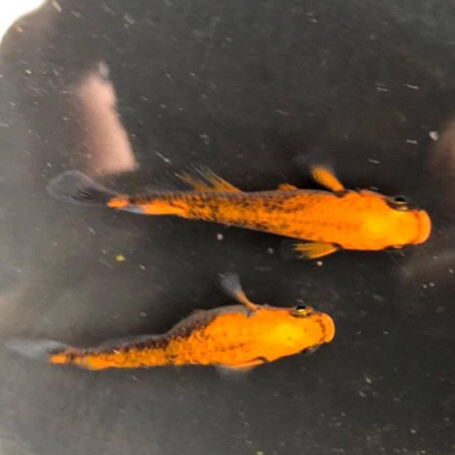 鱗光ロングフィン